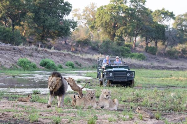 visite Kruger Afrique du Sud lion famille