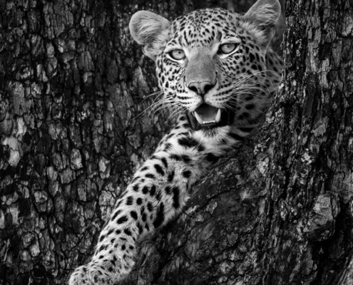 safari leopard botswana itinérant sur mesure afrique agence