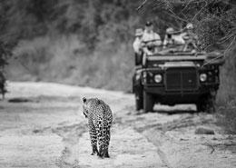 leopard kruger sabi sands voyage luxe privée Afrique du Sud