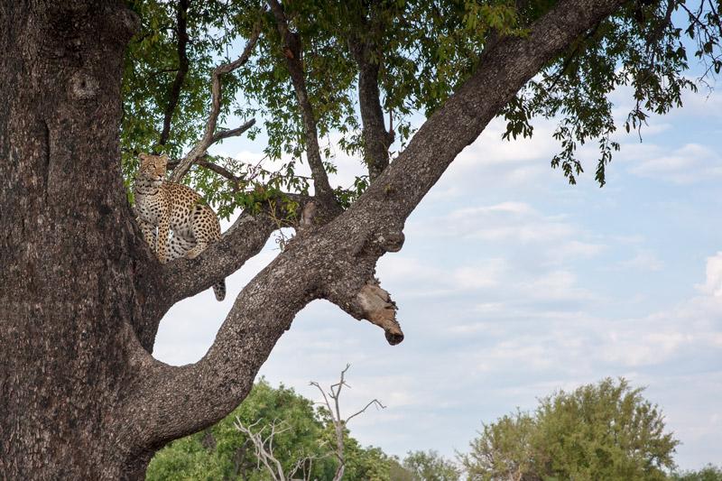 léopard lors d'un safari à Vumbura Plains au Botswana avec Mungo Park, specialiste des safaris en Afrique