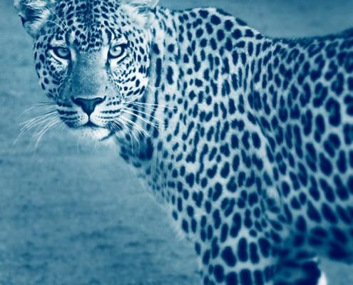 Un safari dans le Delta de l'Okavango, vous y verrez des LEOPARDS - Mungo Park