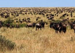 safari dans le serengeti, des gnous à l'horizon