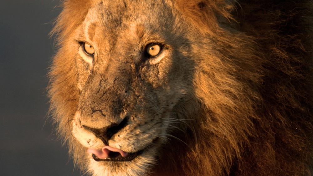lion dans le parc kruger