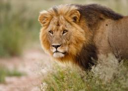 botswana safari Afrique animaux lions