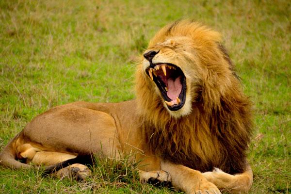 lion rugissement afrique safari savane