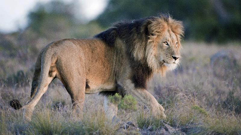 un lion dans la réserve d'amaklhala sur la route des jardins