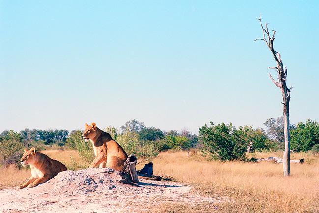 Des lions avec Mungo Park