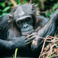 mahale chimpanzés tanzanie sur mesure greystoke