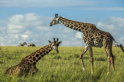 giraffes safari maasai mara kenya luxe exclusive individuel sur mesure