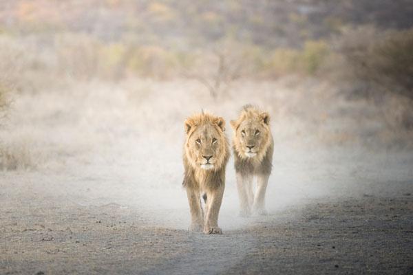 quand partir en safari Afrique animaux lions