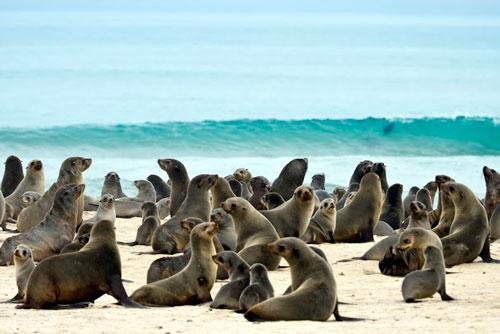 phoques a fourrures namibie