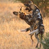 ruaha safari sud tanzanie exclusif sur mesure spécialiste suisse