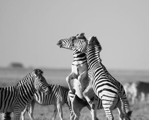 safari botswana luxe sur mesure afrique delta okavango mungo park