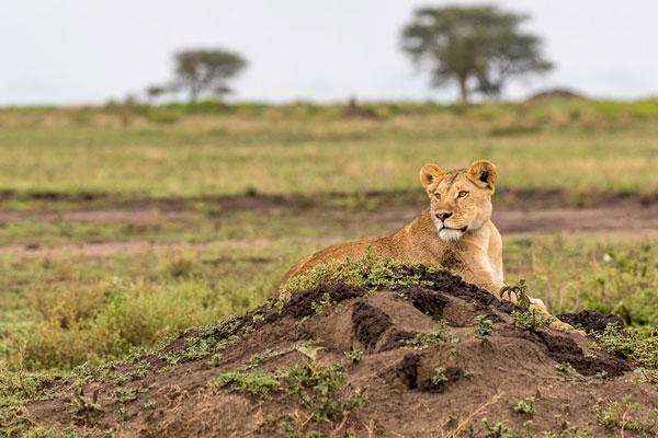visiter le parc serengeti animaux mirgation lions prédateurs