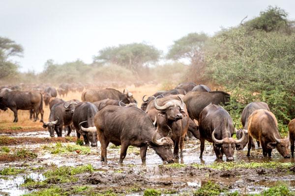 quand partie en safari saison animaux Afrique buffles