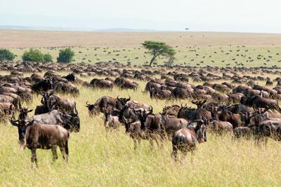 serengeti migration yoyage exceptionnel en Afrique fait par des specialistes, experts