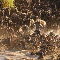 serengeti migration gnous riviere mara safari kogatende lamai