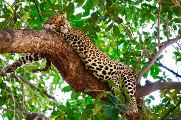 quand partir en safari Afrique saison animaux léopard