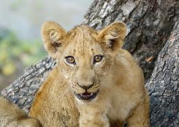 quand partir en safari pays saison Afrique